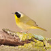 Common Yellowthroat!