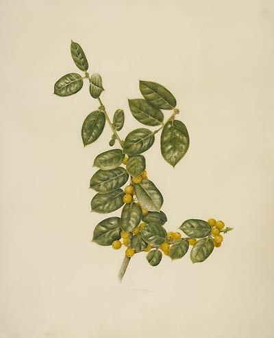 Ilex cornuta 'D'Or' | by Brooklyn Botanic Garden