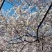 Yoshino Cherry Tree Blossoms