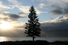Norfolk Pine | by Chris.Gray