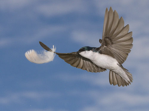 tree swallow in flight with goose feather | by featherfolio