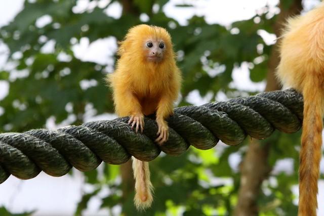 Recent Photos The Commons 20under20 Galleries World Map App Garden    Golden Lion Tamarin Babies