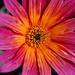 Arctotis 'Pink Sugar', SF Botanical Garden (05-10)