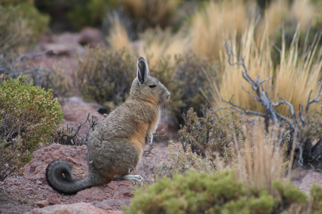 viscacha lagidium viscacia molina appearing to be someth flickr. Black Bedroom Furniture Sets. Home Design Ideas