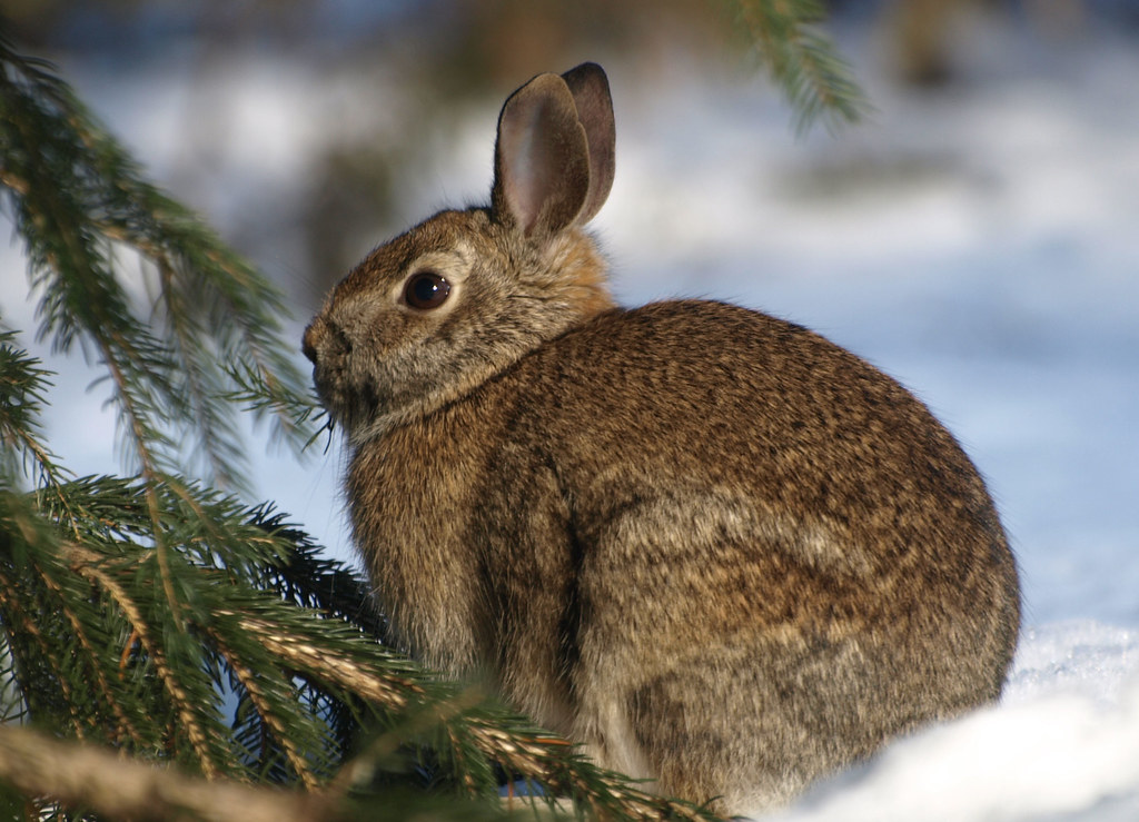 Rabbit in my yard | This lovely rabbit is in our backyard ...