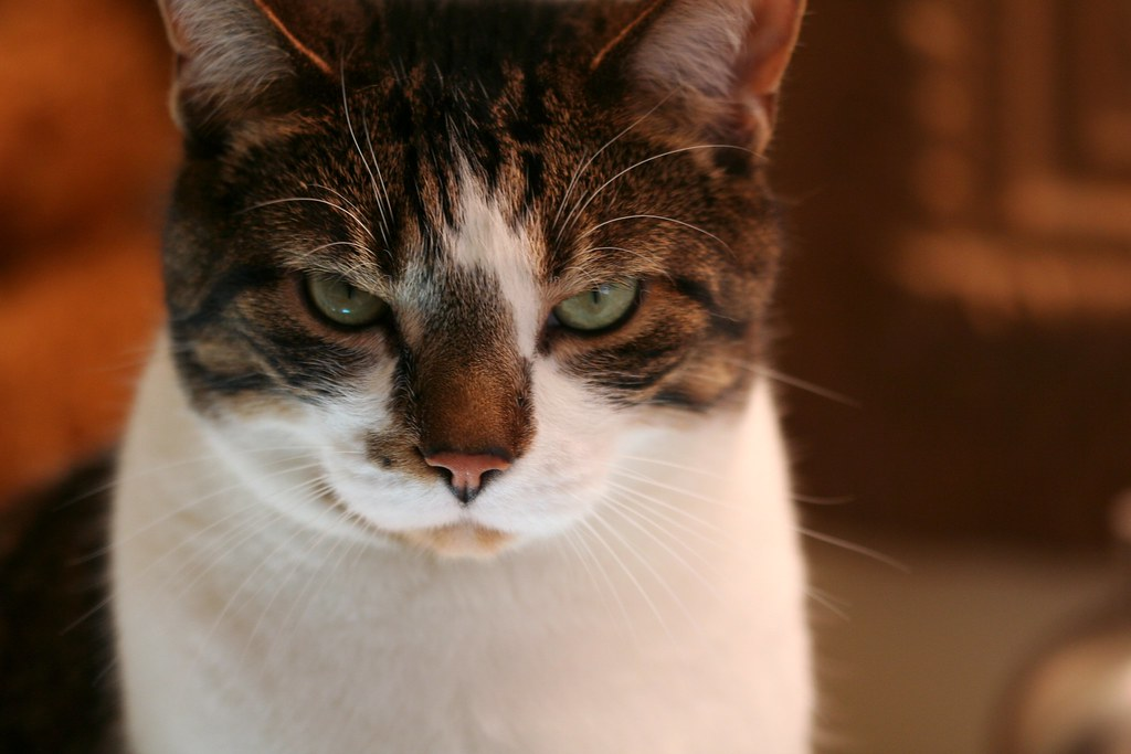 wearing a serious cat face | Charlie..... in a mood ;0 ...