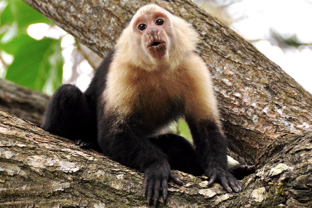 Capuchin Monkey Pictures Capuchin Monkey in Cahuita