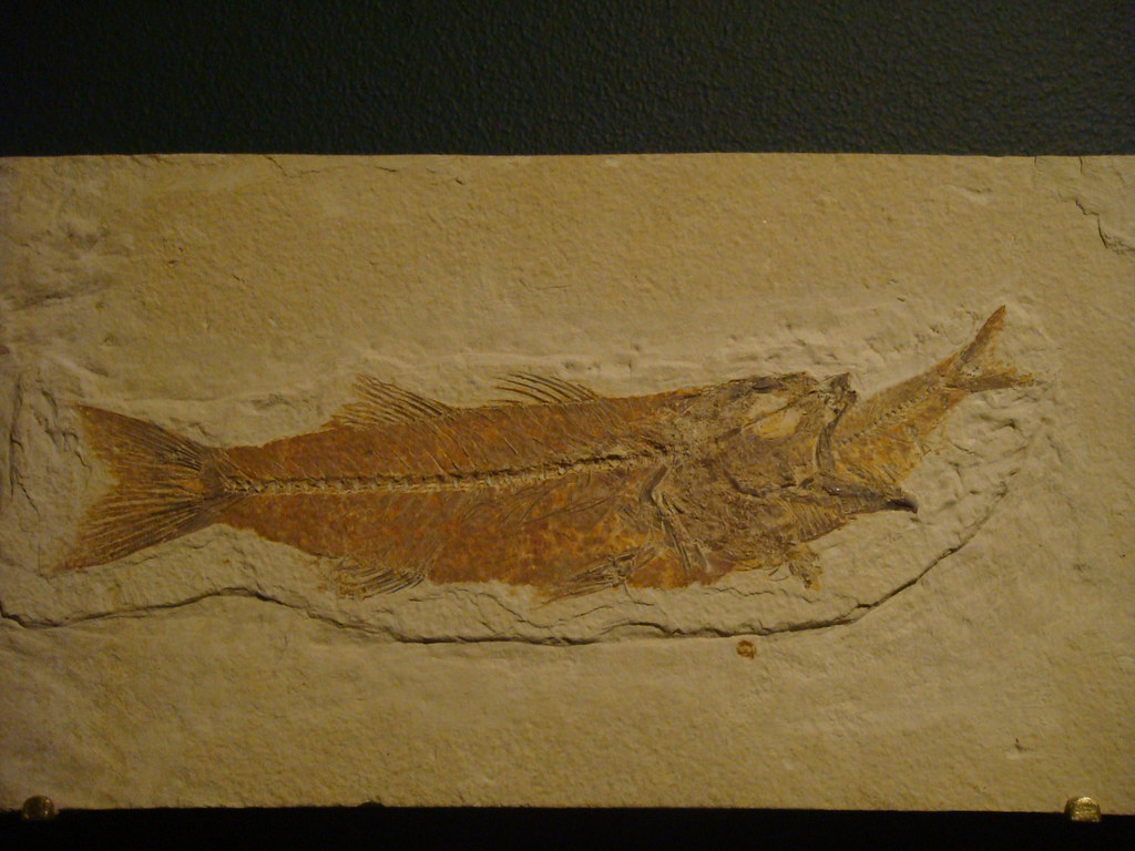 Fish Eating Fish Fossil Fossil Fish Eating Another