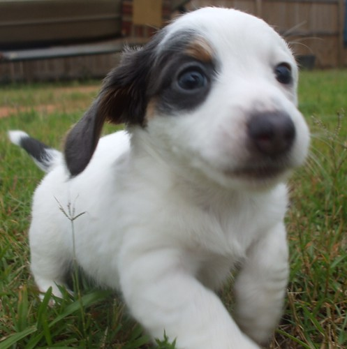 pup#3 extreme piebald long hair dachshund puppy blue & tan | by Perrys ...