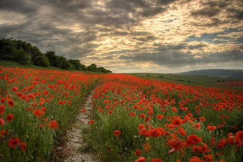Poppies | by oindypoind