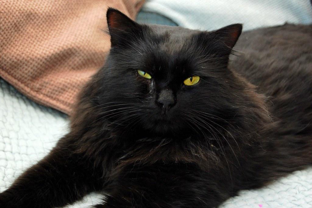 Fat Black Cat détente sur le canapé Matt Taylor Flickr-7707