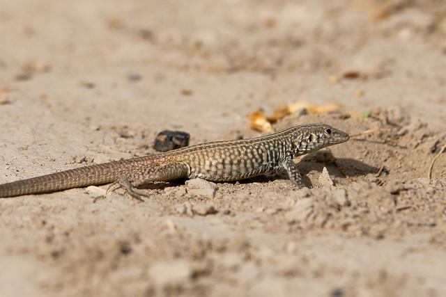 Great basin whiptail lizard