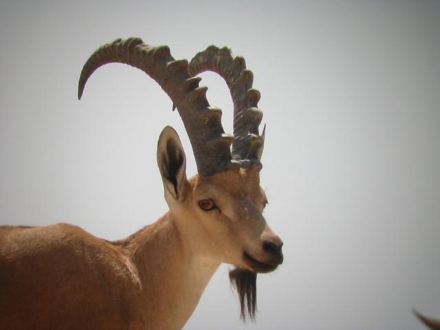 البدن الوعل الجبلي المصدر جمعية الحياة البرية في فلسطين
