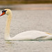 Mute Swan Plying the Colorado Waters