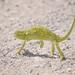 Flapneck Chameleon