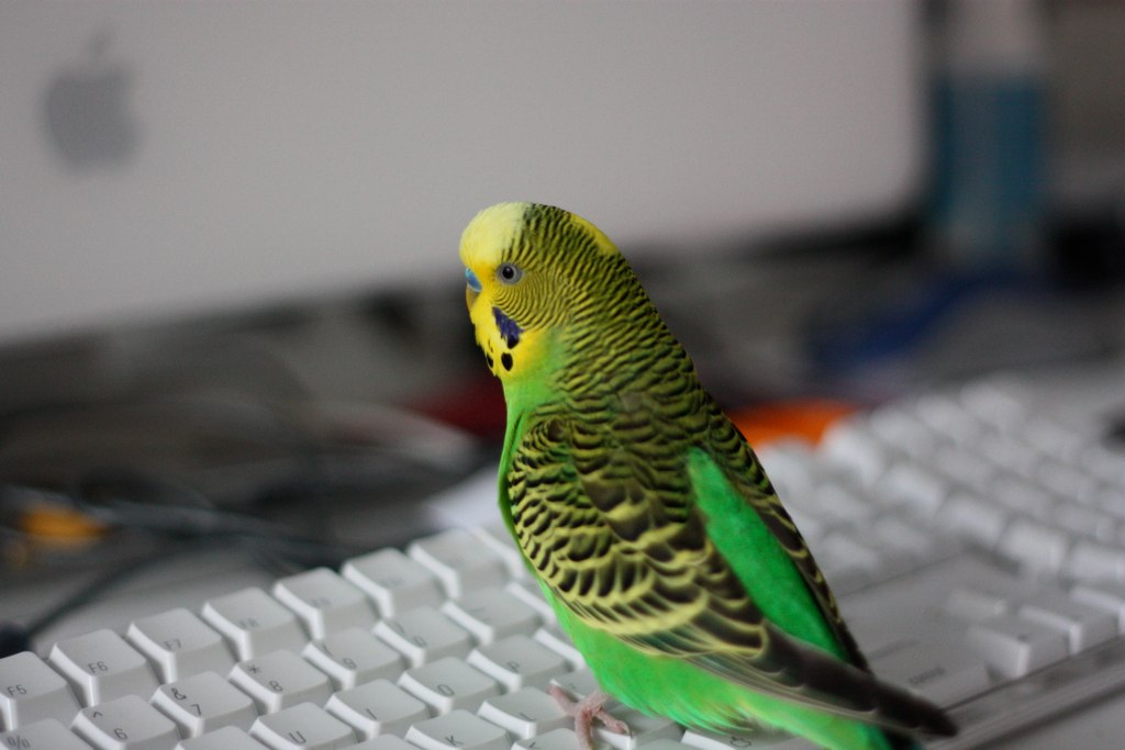 budgie standing on keyboard