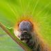 Grub - Malacosoma castrensis