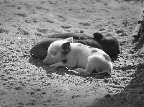 Sleeping piglets in Mozambique's Tete Province | by International Livestock Research Institute