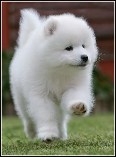 Best Samoyed Chubby Adorable Dog - 3279158215_f688473dc0  2018_18424  .jpg