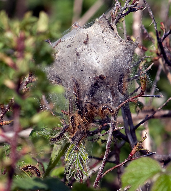 MOTH CATERPILLARS BELIEVED TO BE A CAUSE OF SKIN RASH ...