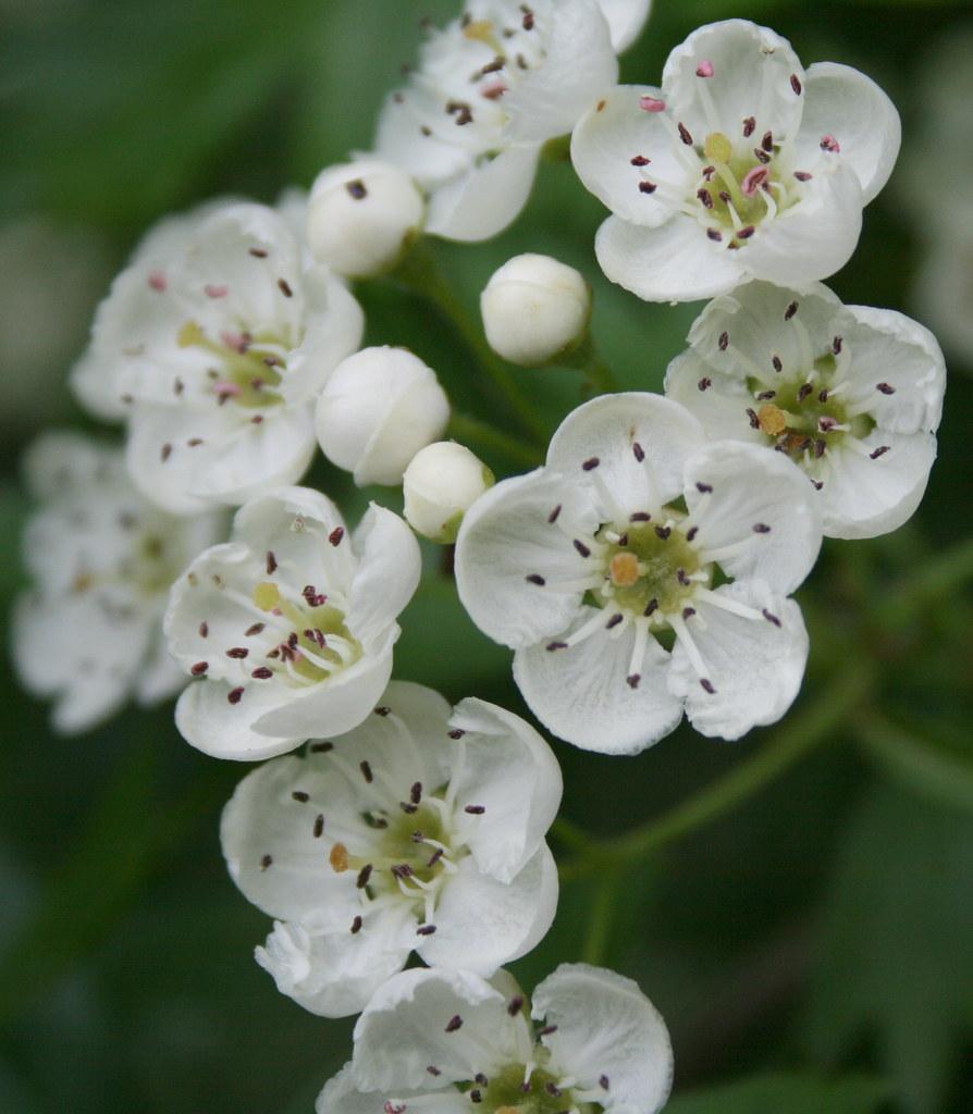 Black Hawthorn Flowers | The Black Hawthorn is an