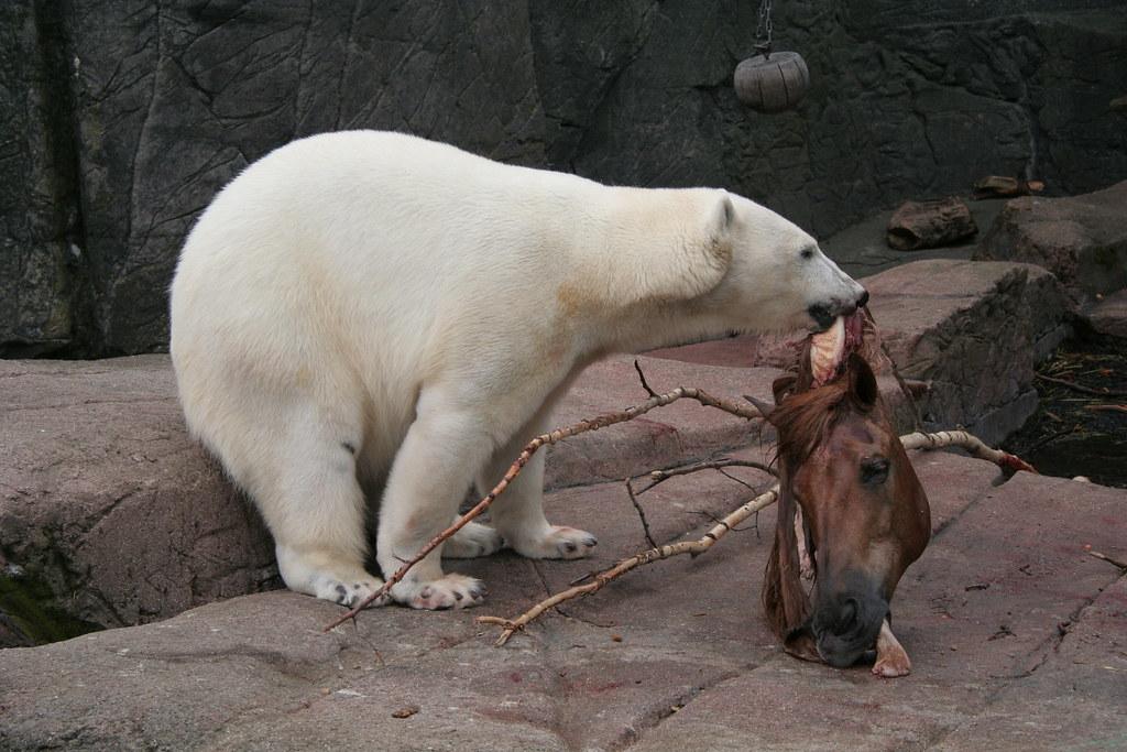 Do polar bears eat humans - photo#8