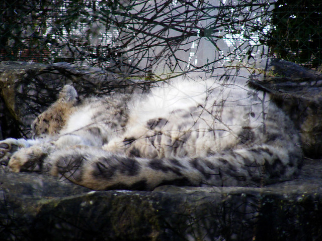 camouflage snow leopard | lensable | Flickr