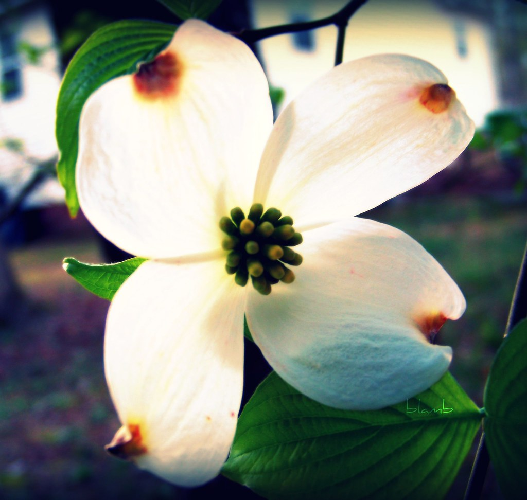 Dogwood The Dogwood Is North Carolinas Official State
