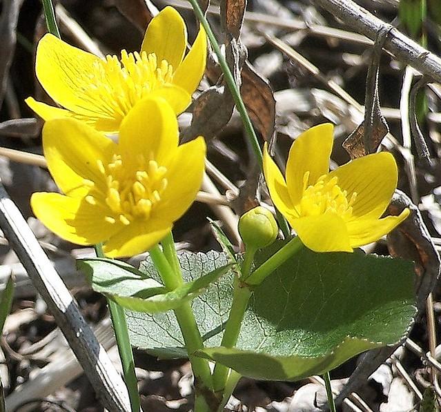 Marsh Marigold | Taken In Indian River, Michigan (c ...