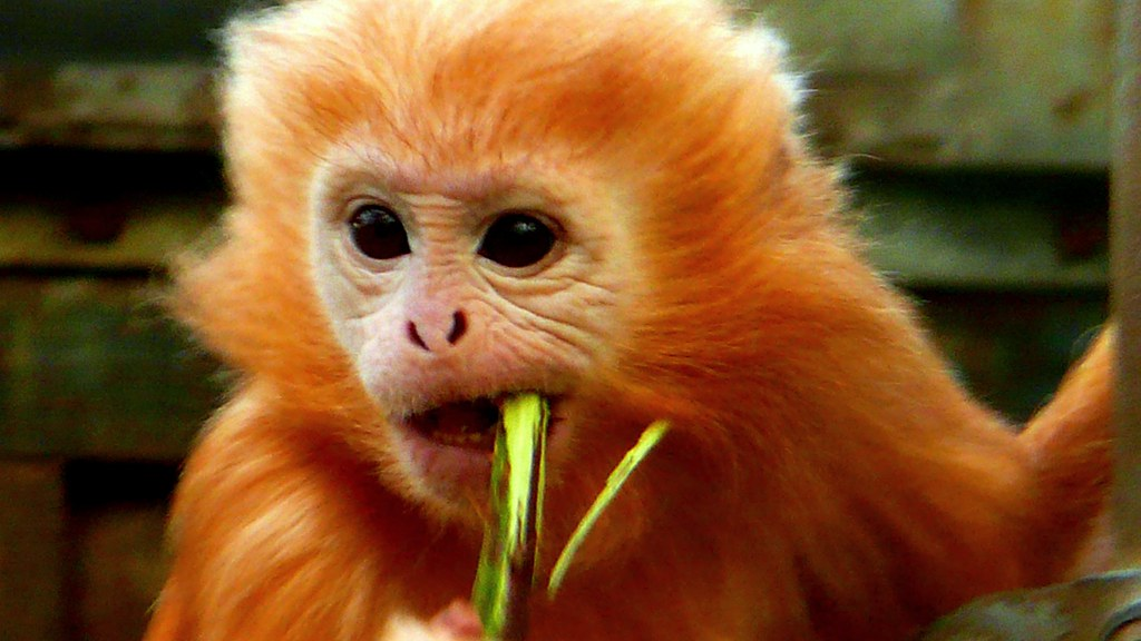 Image Result For Gibbon Coloring Page