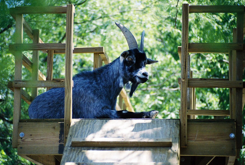 treehouse with the pygmy blue goat