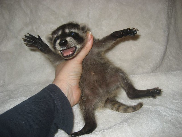 free hq baby raccoon - photo #33
