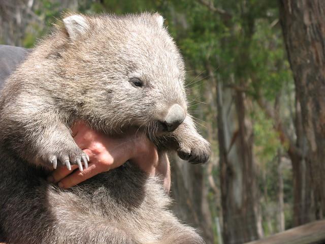 cute wombat   Flickr - Photo Sharing! - 138.8KB