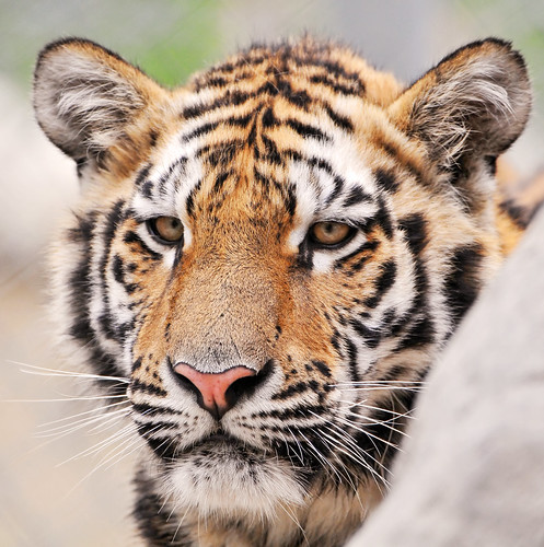 Another tiger portrait | by Tambako the Jaguar