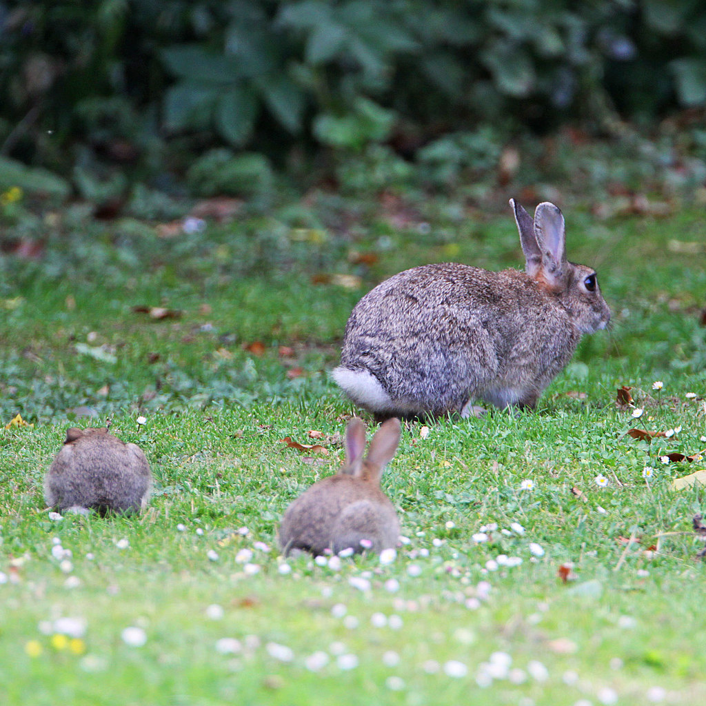 Wild Rabbits | Baby bunnies with a parent :) | Mark ...