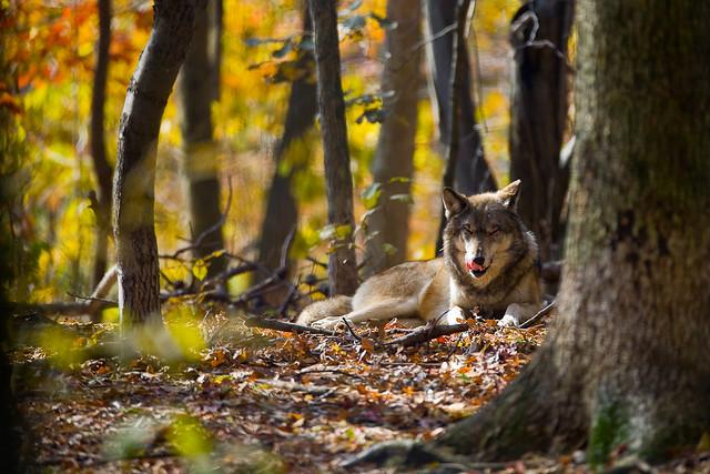 森の中で一休みしている狼