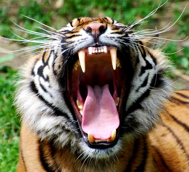 sumatran tiger map with 4603683746 on 9148465357 likewise 5936486606 as well Diffusione E Habitat additionally 4220407336 together with 11.
