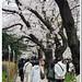 桜@北の丸公園