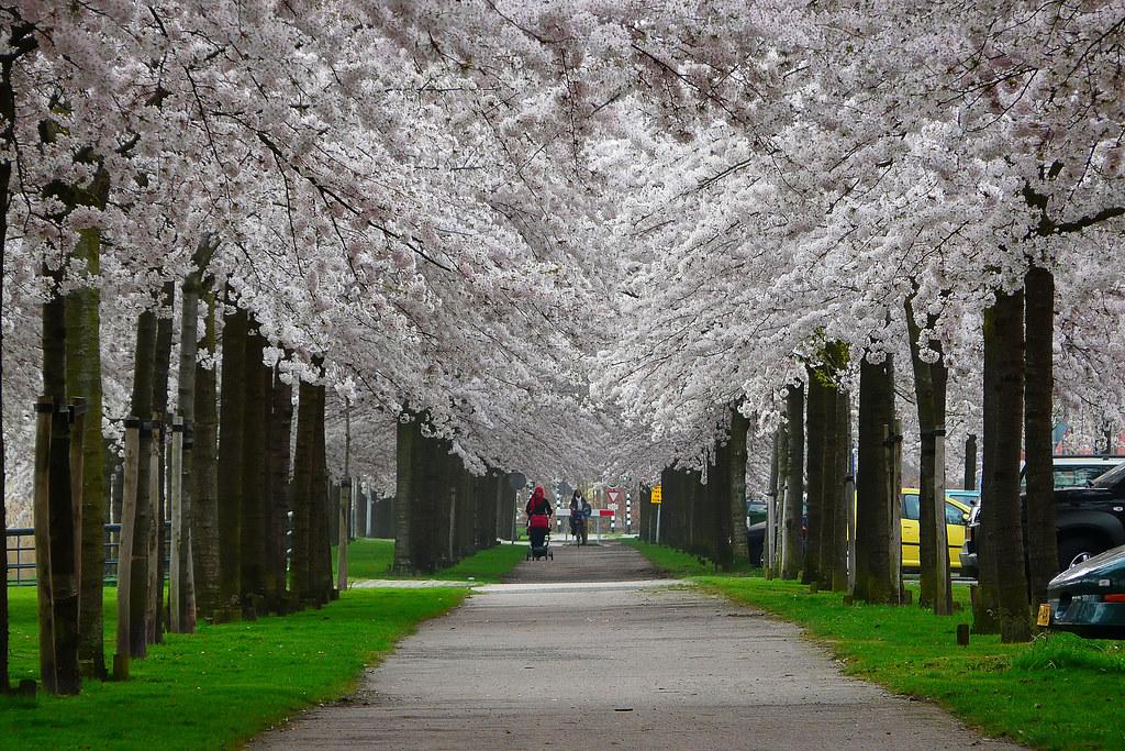 Regenboogbuurt   Almere Buiten, The Netherlands   Blossom in u2026   Flickr