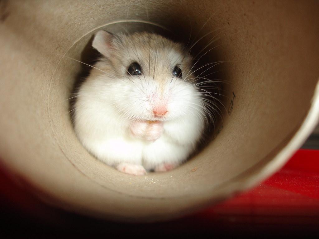 Фото самого милого хомячка