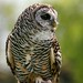 Rufous-Legged owl  -  Strix Rufipes