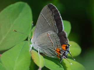 Strymon melinus, Gray Hairstreak | by sheryl2010