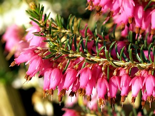 Early spring flowers of a red winter heather. | by Bienenwabe