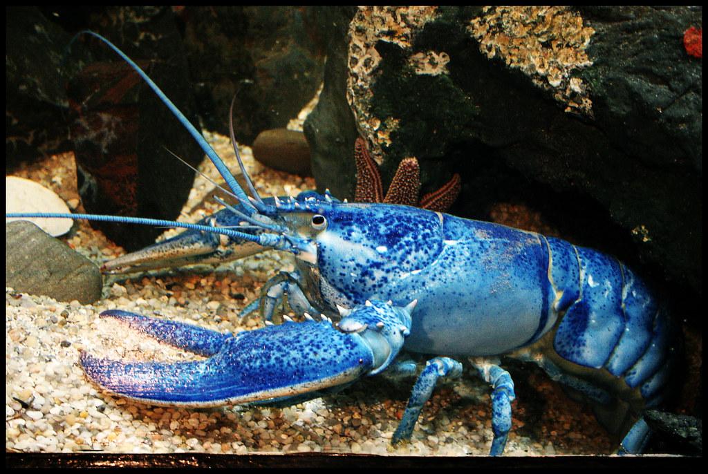 Rare Blue Lobster | This guy was taken at Jenkinson's Aquari… | Flickr
