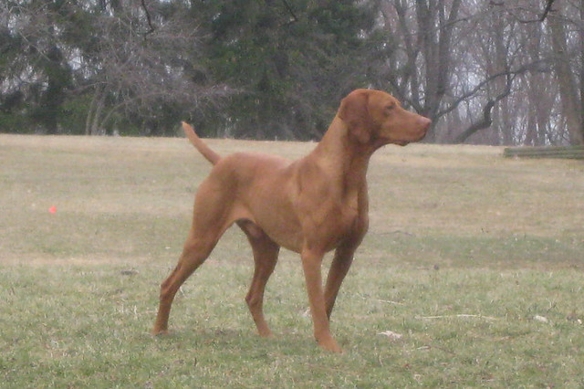 Adult Vizsla For Sale 107