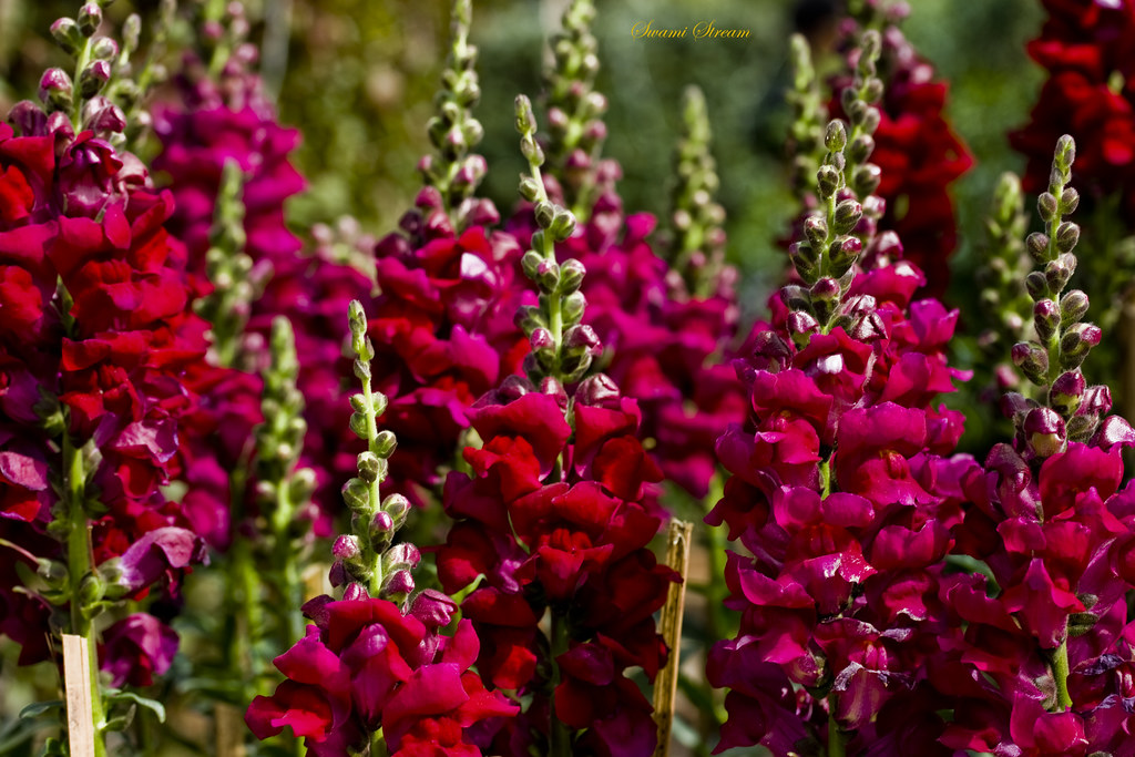 Red Flower Brigade (Snapdragons) on explore | Beautiful ...