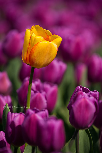 One Yellow in a Sea of Purple | by . Andrew Dunn .