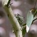Hummingbird nest at the de Young