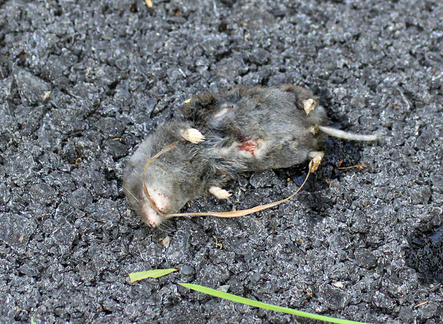 Cat-killed shrew