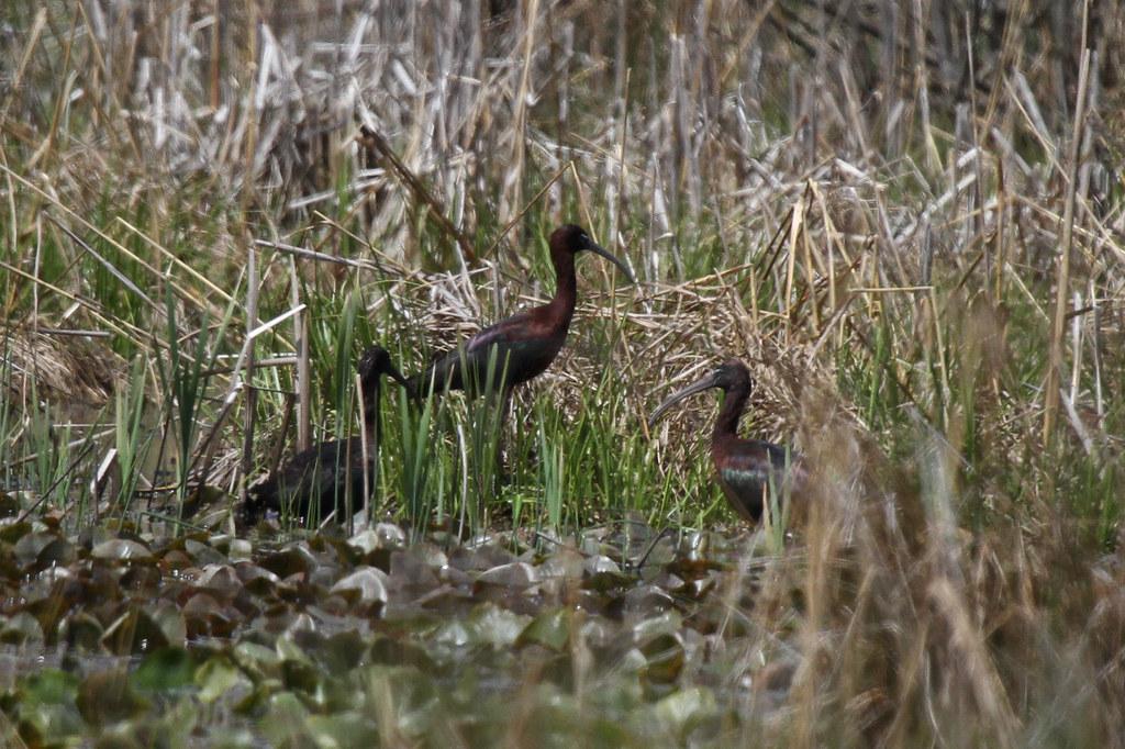 Glossy Ibis | Highlandtown Lake Wildlife Area, Columbiana ...